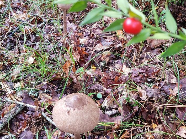 cueillette-des-champignons